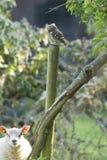 Steenuil, civetta, noctua delle atene fotografia stock libera da diritti