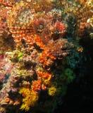 Steenvissen (Moalboal - Cebu - Filippijnen) Stock Afbeeldingen