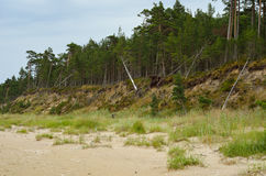 Steep bank and pine forest. Stock Photos
