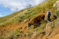 Steep descend for a cow, Colombia. A farmer and his cow trying to make their way down a steep rocky hill in Boyaca, Colombia Royalty Free Stock Photo