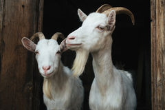 Steep goats Stock Photography