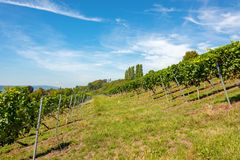 Steep hillsides with grapevines near Birnau on Lake Constance royalty free stock images