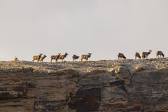 Elk herd on canyon rim Stock Images