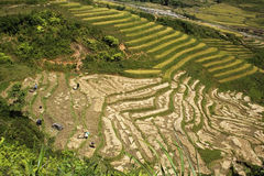 Steep Rice Terraces. This photo is from Sapa, Vietnam.  The terraces are used to grow rice.  The golden colour shows that it's harvest time.  Rice terraces are Stock Photos