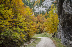 Steep rock walls and autumn colors in Zarnestiului Gorge. Steep rock walls in Zarnestiului Gorge, a spectacular canyon leading to The Curmătura Cabin, Zarnesti Royalty Free Stock Images