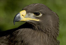 Steepe Eagle royalty free stock images