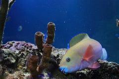 Steephead parrotfish Stock Photo