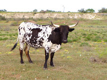 Steer. A single black and white ox with big long horns standing on green field Royalty Free Stock Photography
