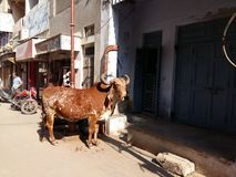 A steer At Dwarka, Gujrat stock image