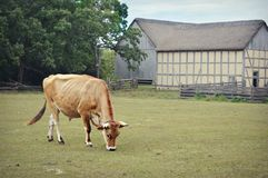 Steer grazing in pasture stock image