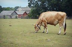Steer grazing in pasture Stock Photos