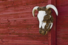 Steer Head Horns On Red Barn Wall Horizontal. On the side of a barn is this steer head with part of the hide still on it Royalty Free Stock Images