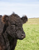 Steer Royalty Free Stock Photo