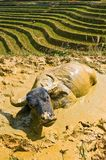Steer on the mud. Steer at Sapa rice fields stock images