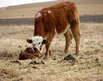 Steer with Newborn Calf. A horned Hereford-crossed steer smelling a newborn calf in the pasture. The grassland is prairie wool that has not been broken by the Royalty Free Stock Photos