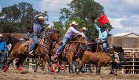 Steer Roping Team Royalty Free Stock Photos