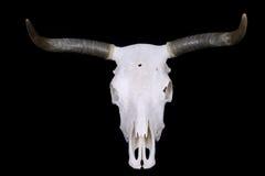Steer Skull royalty free stock photography