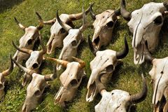 Steer Skulls. Laid out for sale stock photography