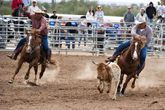 Steer wrestling. APACHE JUNCTION, AZ - FEBRUARY 27: A cowboy participates in the steer wrestling competition at the Lost Dutchman Days Rodeo on February 27, 2010 royalty free stock photo