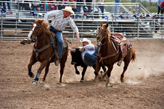 Steer wrestling. APACHE JUNCTION, AZ - FEBRUARY 27: A cowboy participates in the steer wrestling competition at the Lost Dutchman Days Rodeo on February 27, 2010 stock photography