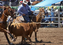 Steer Wrestling. A cowboy is about to wrestle a steer to the ground stock photography
