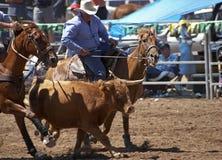 Steer Wrestling Stock Photography