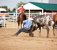 Steer wrestling Stock Images