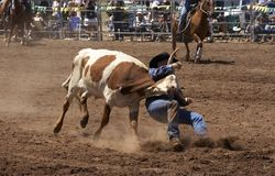 Steer Wrestling. Cowboy wrestling a steer down Stock Photo