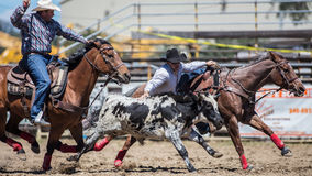 Steer Wrestling Time. A cowboy chases down a steer at the Cottonwood Rodeo in Northern California royalty free stock image
