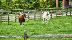 Steers in field. Long Horn Steers Grazing in field on a sunny Day stock photography