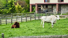 Steers in field. Long Horn Steers Grazing in field on a sunny day royalty free stock photos