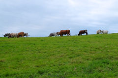 Steers Grazing on Hill Stock Image