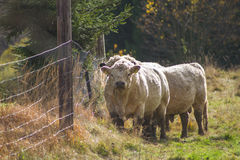 Steers on a meadow Royalty Free Stock Photo
