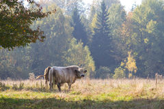 Steers on a meadow Stock Image