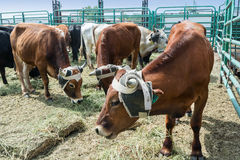 Steers ready for a rodeo event. Steers are fed before a rodeo roping event royalty free stock photo