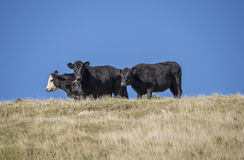 3 steers on a ridge Stock Images