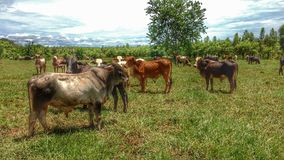 Steers taking a break. Nature at its best shows off its beauty stock photos