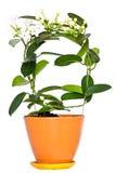 Stefanotis kwiat Obrazy Stock