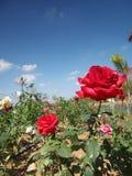Steg blå himmel för blomman arkivbild