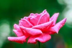 Steg - blomman, buketten, blomman, blommahuvudet, kronblad Royaltyfri Fotografi