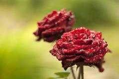Steg blomman i regndroppar Arkivbilder