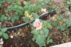 Steg blomman i trädgårdar och röd röd blomma Arkivfoton