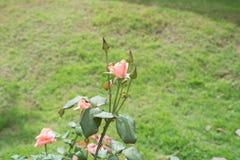 Steg blomman i trädgårdar och röd röd blomma royaltyfri foto