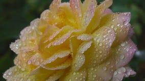 Steg blomman med regndroppar arkivfilmer