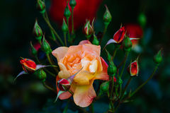 Steg blomman och knoppar Royaltyfri Foto
