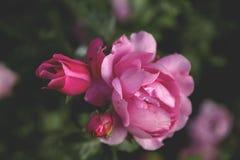 Steg blomningar Royaltyfria Bilder