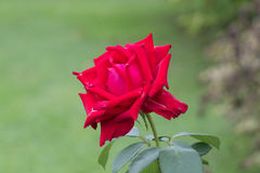 Steg Crimson blomma Trädgårds- växter arkivbild
