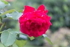 Steg Crimson blomma Trädgårds- växter royaltyfri foto