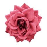 Steg den ljusröda blomman på vit isolerad bakgrund med den snabba banan Inget skuggar closeup För design royaltyfri foto