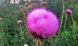 Steg den mycket farliga blomman arkivfoto